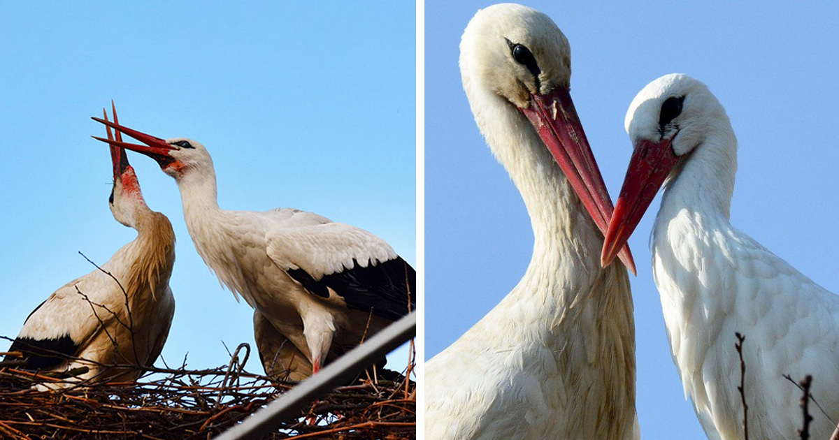Stork Shows Devotion By Flying 13,000 km For The Last 16 Years To His Injured Soulmate