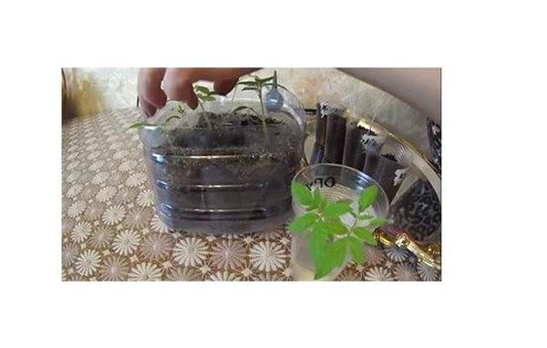 Китайский способ выращивания высокорослых томатов. Как посеять семена и распикировать рассаду томатов китайским способом