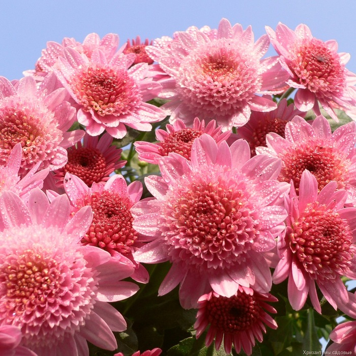 http://www.tunnel.ru/userfiles/ck/images/16/48414960_chrysanthemum1.jpg