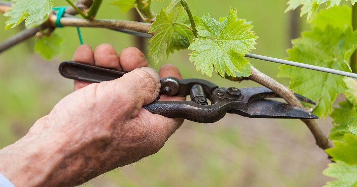 5 типичных ошибок новичков при обрезке винограда
