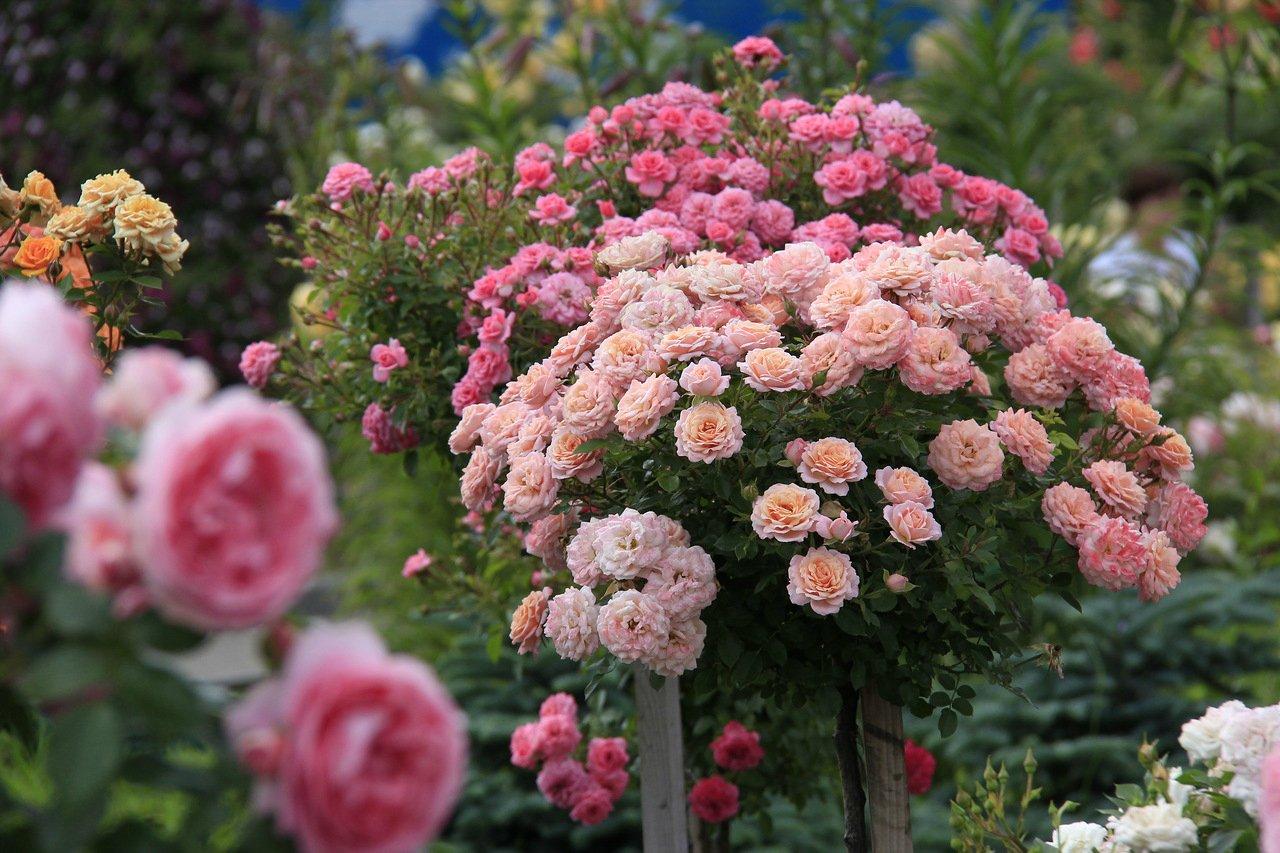 Последняя подкормка роз. Уход за розами в августе