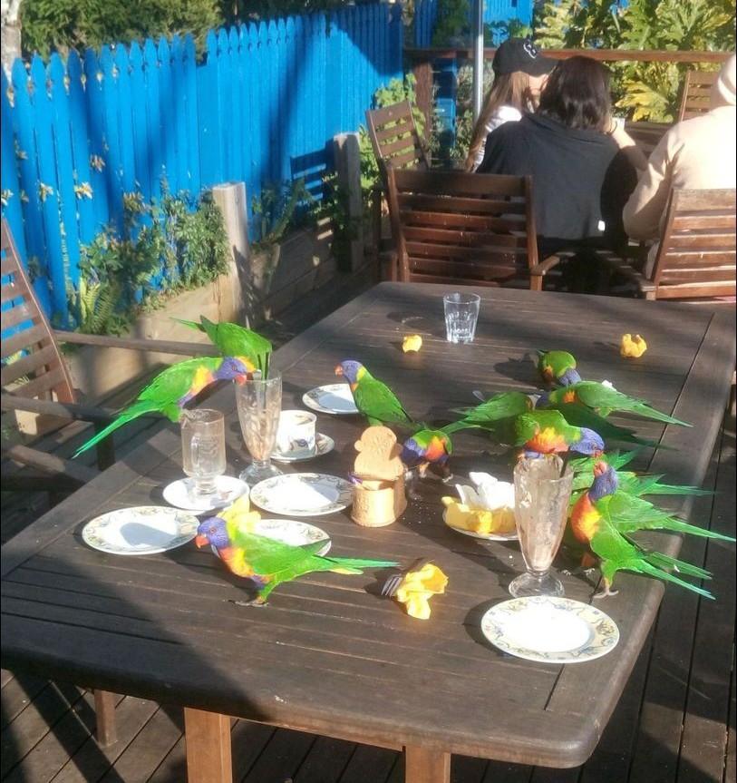 Австралия. голуби, животные, прикол, юмор