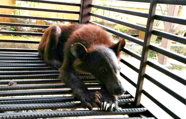 Тощие медвежата едва могли поднять голову. Всю жизнь они просидели в клетке, и ели одни лишь бананы