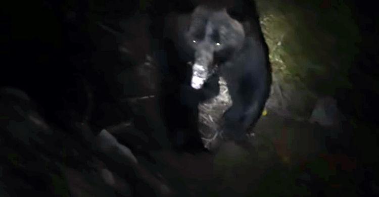 Медведь каждый вечер приходит ужинать к горнякам