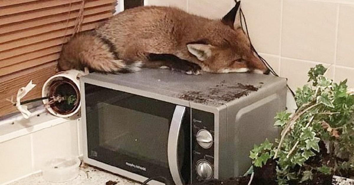 Ну и ну: ошарашенная семья нашла на кухонном приборе живую лису!