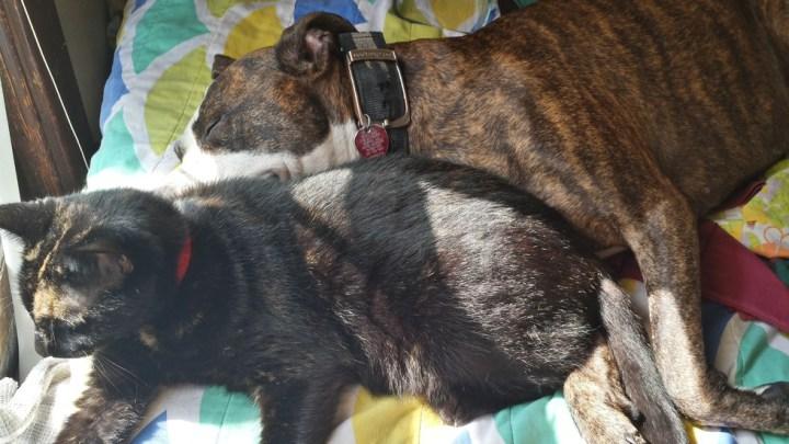 питбули и кошки