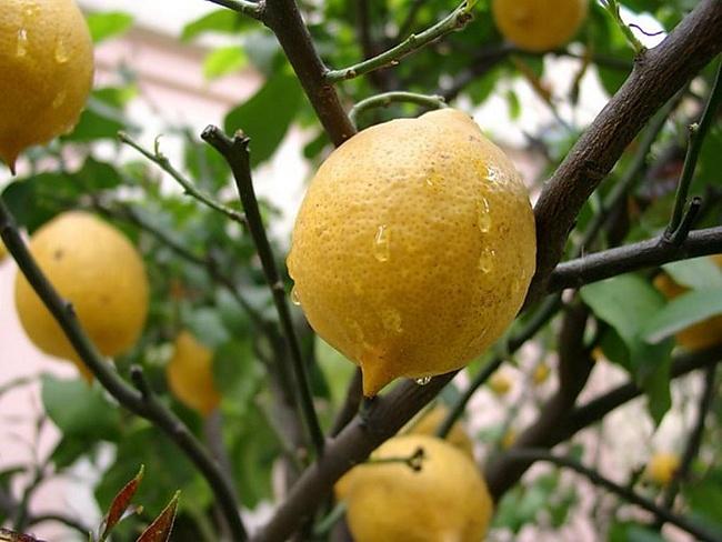 Саженец экзотических фруктов Саженцы экзотических фруктов: лимона, банана, ананаса
