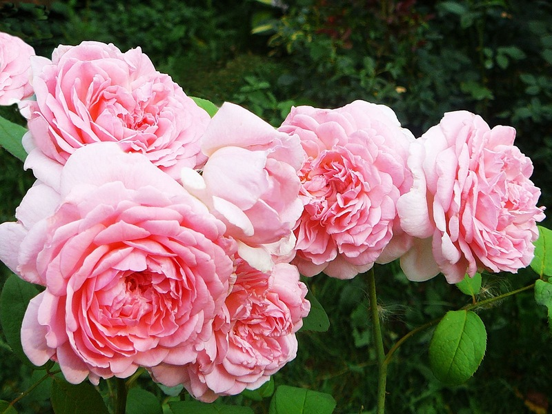 Садовые розы на весну, саженцы и черенки: 550 руб. - Садовые растения в Волгограде на Slando