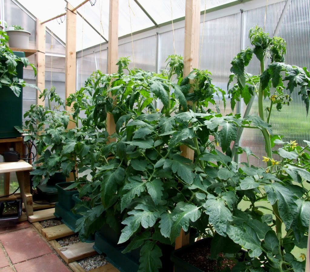 Ваши томаты жируют? Три надежных способа растрясти жирок
