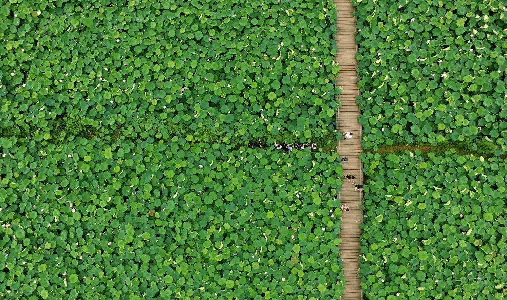 Море лотосов в провинции Чжэцзян, Китай