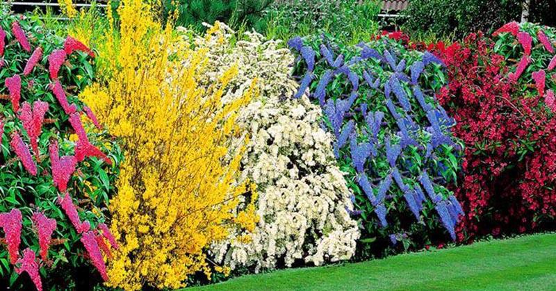 Шикарная живая изгородь на участке: выбираем лучший кустарник