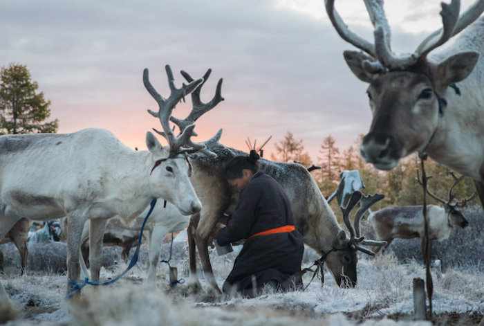Оленье молоко на севере России является практически единственным источником свежего молока.