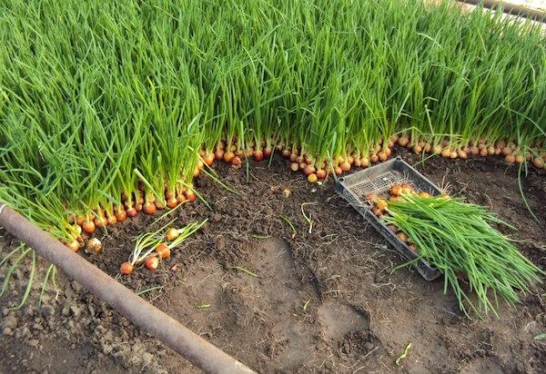 Чего нельзя делать с луком: Семь важных луковых запретов