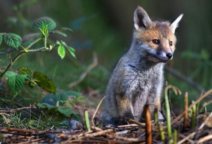 fox_20120409_00640_050 (700x500, 54Kb)