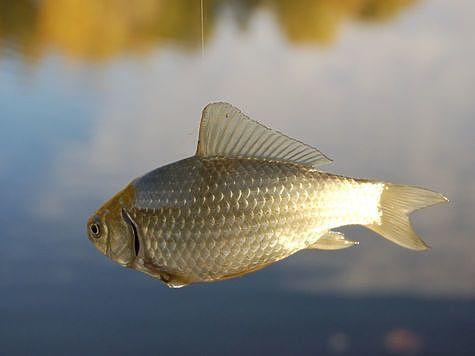 Праздничные рыбы