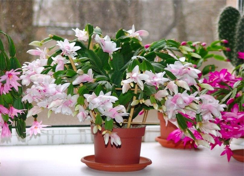 Причины, по которым не цветут комнатные растения