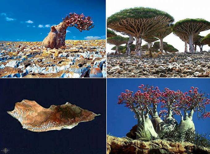 Фантастический растительный мир острова Сокотра