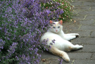 Специи и пряные травы. Кошачья мята (кошачий котовник)