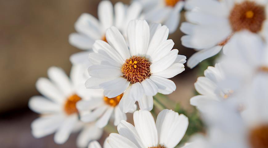 Редкие садовые растения: Родантемум, или марокканская ромашка