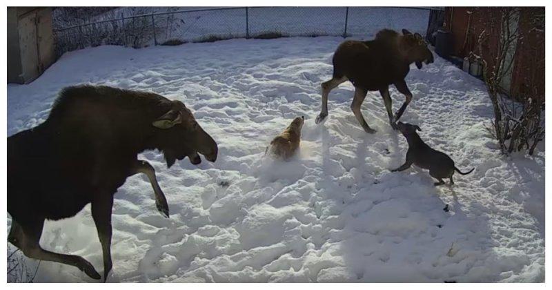 Лосиха чуть не затоптала собаку на Аляске
