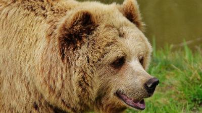 В Новосибирске спасатели попросили не делать селфи с вышедшим из леса медведем