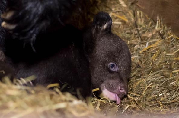 В барнаульском зоопарке впервые родились гималайские медвежата
