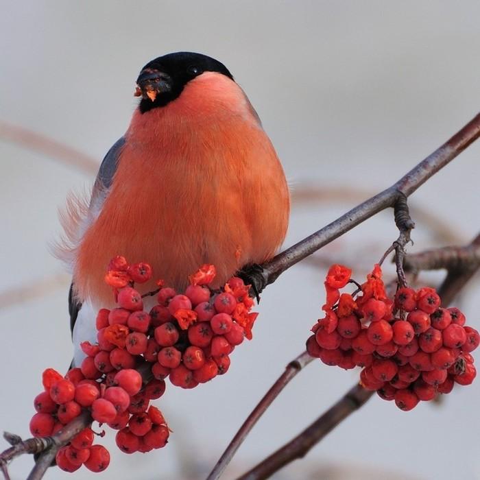 Куда весной улетают снегири? снегири, птицы, Природа, красота, длиннопост
