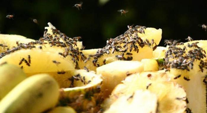 5 эффективных способов борьбы с плодовой мушкой – дрозофилой