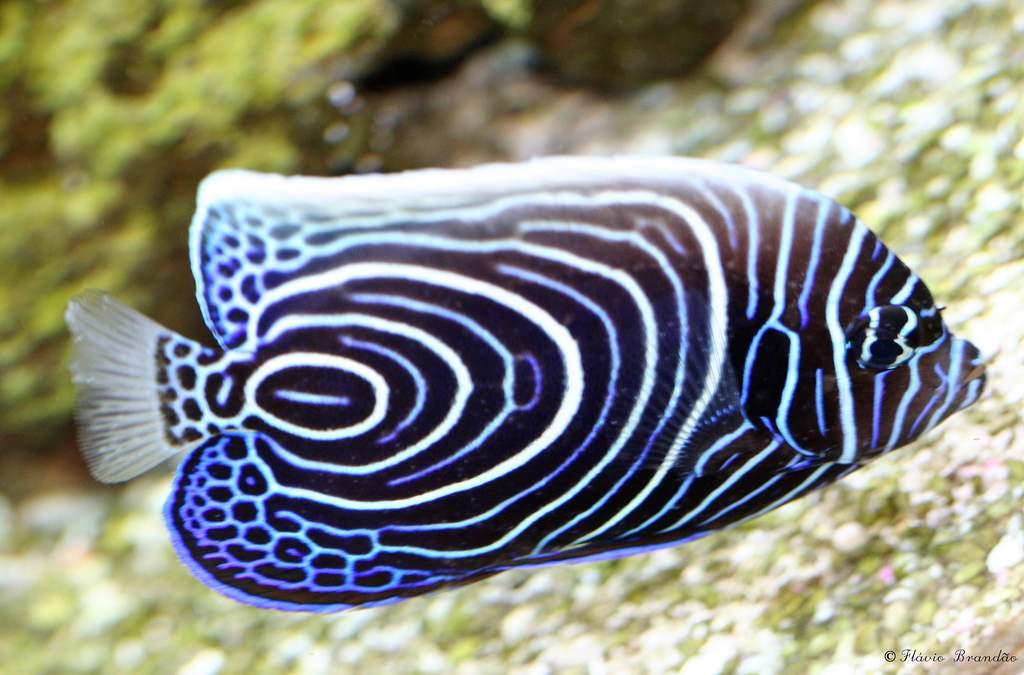 Рыба ангел