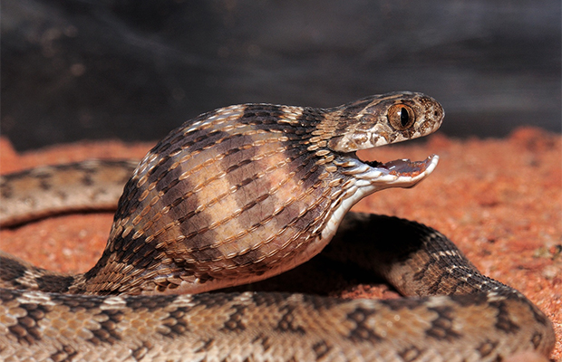 Африканская змея — яйцеед