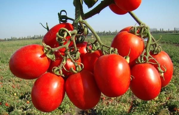 Самые лежкие сорта помидоров в средней полосе