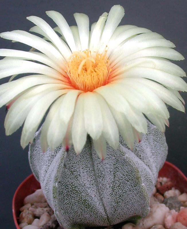 Фото кактусов цветов красивых