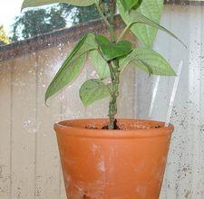 Вырастить чёрный перец дома