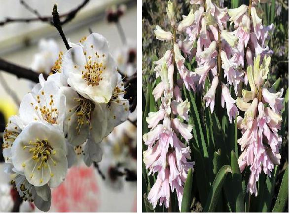 Крымская весна —  цветут абрикосы слива и вишня. Гиацинты с нарциссами тоже не отстают...