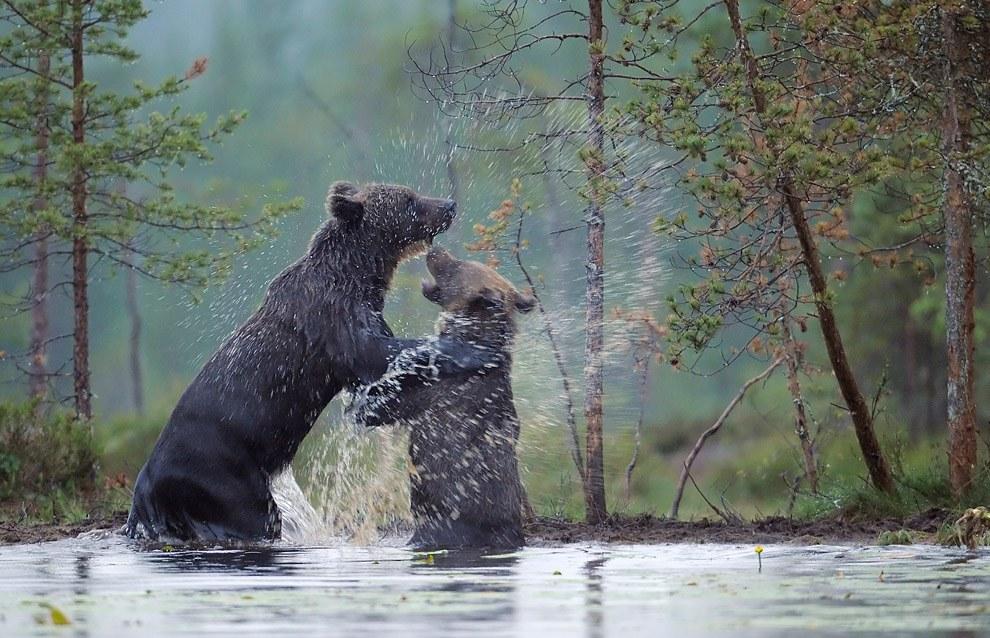 Медведи финских лесов