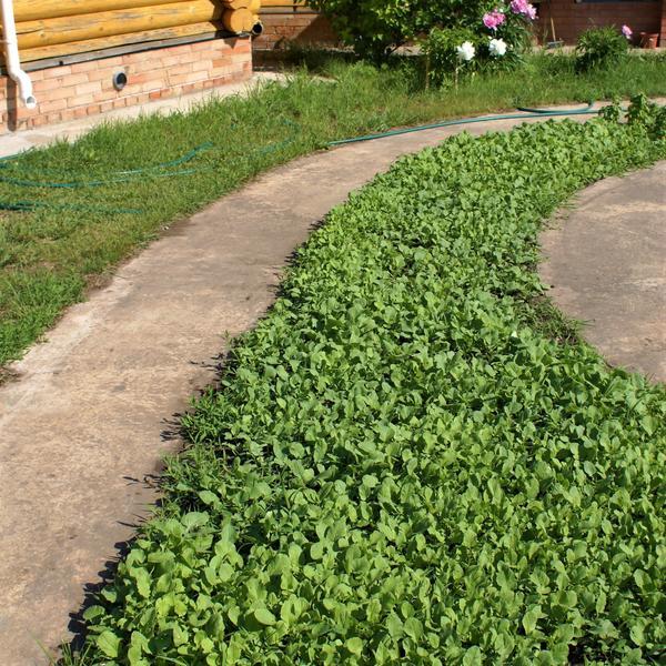 Сидераты — трава не простая, а золотая