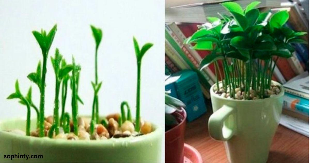 Вот как вырастить лимон в чашке - чтобы дома всегда идеально пахло