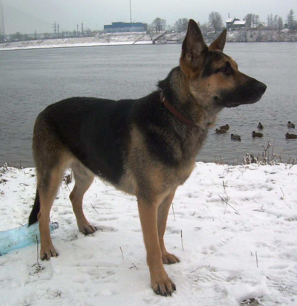 Воспитание восточно европейской овчКонкурс лучших новогодних поделок