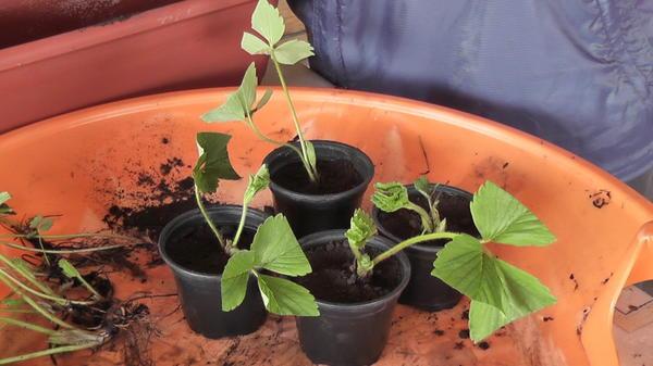 Рожки садовой земляники высажены в горшочки