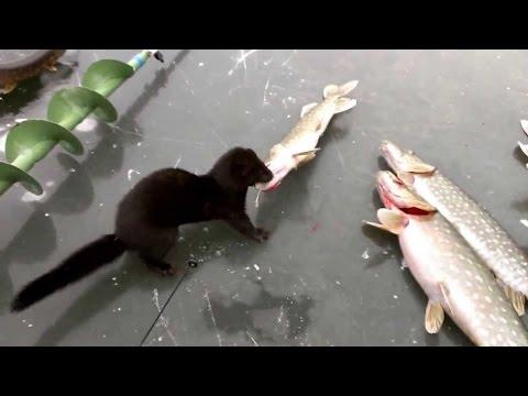 Животные на рыбалке воруют рыбу // Pets are stealing fish fishing