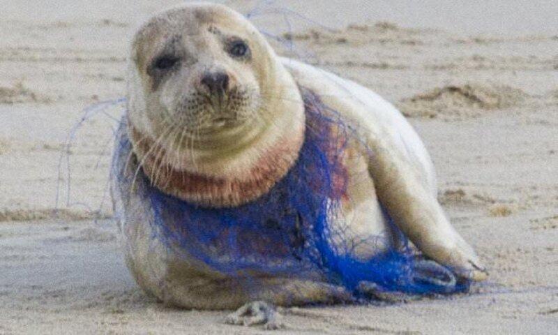 Добровольцам не удалось помочь тюленихе, полузадушенную пластиковой сетью