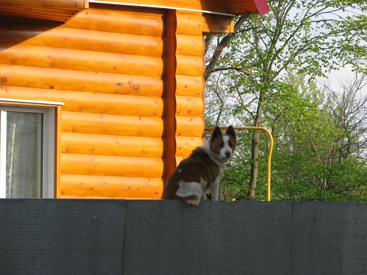 Братья наши меньшие: надоедливая маленькая собака