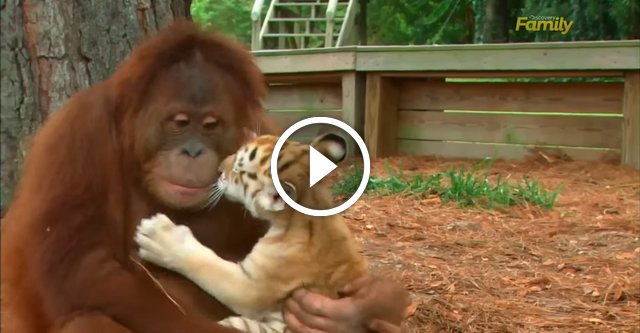 Заботливый папа орангутанг кормил тигрят с бутылочки