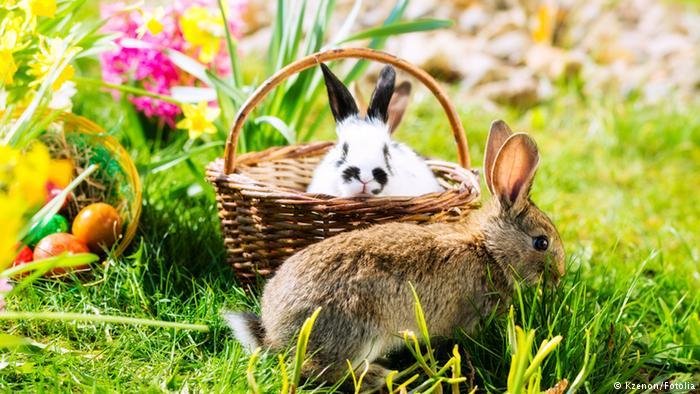Они сожрали кролика с айвой.…