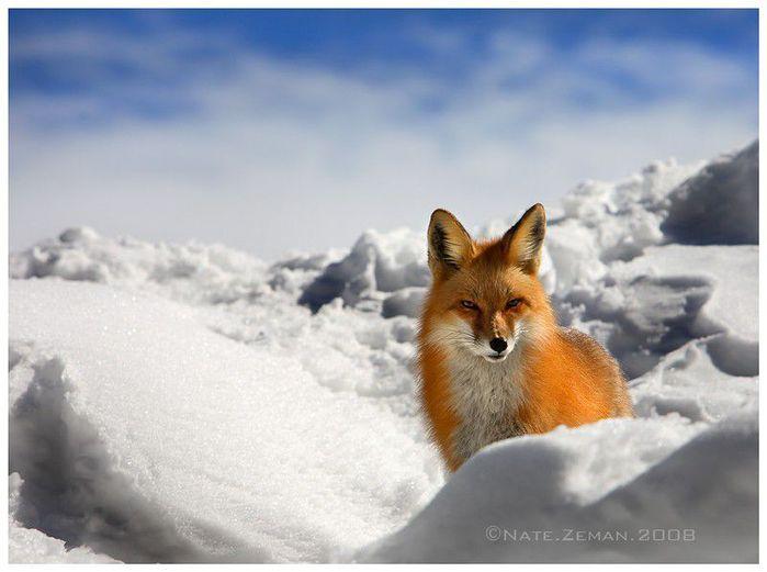 fox_20120409_00640_024 (700x500, 44Kb)