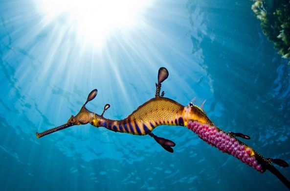 Подводный фотограф снял на видео морского дракона