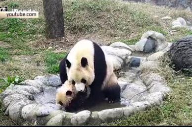 Мама-панда купает своего непоседливого медвежонка