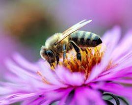 Гибель пчел = гибель человечества...