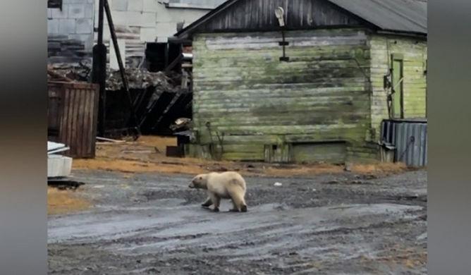 Бродячего белого медвежонка перевезли в зоопарк