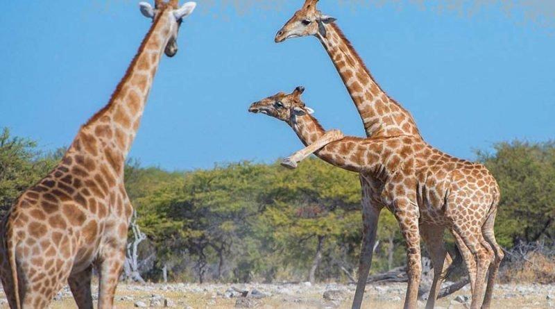 Жираф-каратист после удара в стиле Брюса Ли стал знаменитостью в Сети